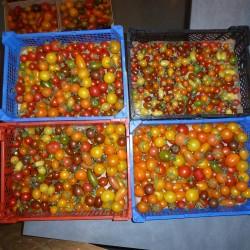Tomates cerises et cocktail